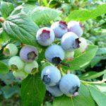 Sorte borovnice